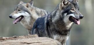 Ученые узнали, как волки превратились в домашних собак