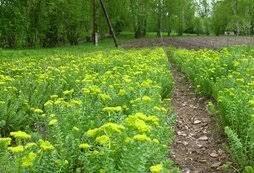 В Сибирском ботаническом саду обнаружили растения с высоким противовирусным эффектом