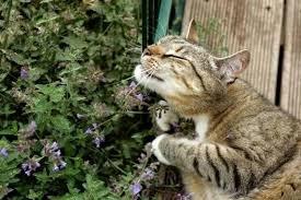 Ученые выяснили, почему кошачья мята отпугивает комаров